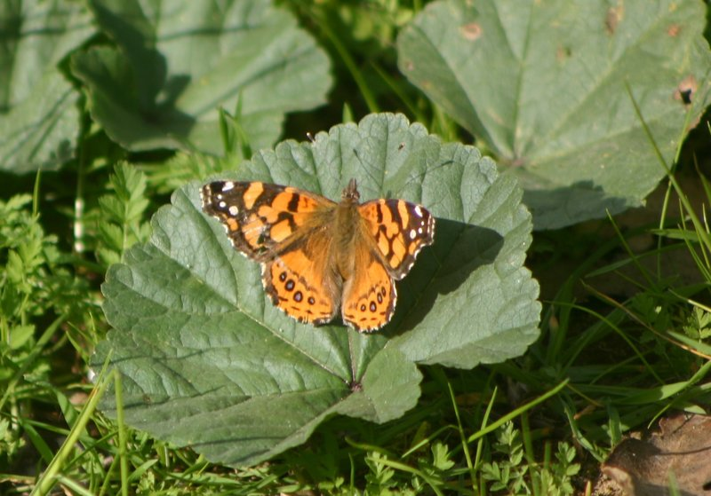 Sightings For March 2015 Naba Butterfly Sightings