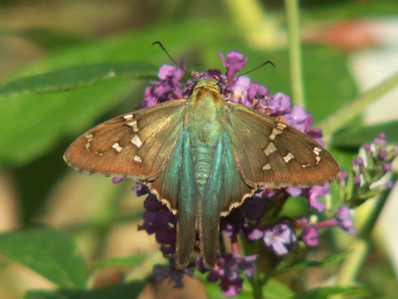 Sightings for September 2012 | NABA Butterfly Sightings